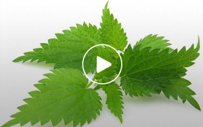 Nettle Infusions: Minerals for Leg Cramps and More